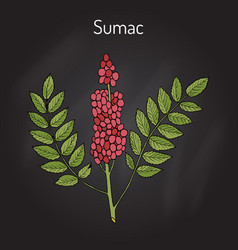 sicilian sumac rhus glabra branch with leaves and vector image