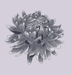 Blue pastel colored chrysanthemum vector