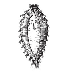 Common carpet beetle larva vintage vector