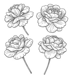hand drawn monochrome rose flowers vector image
