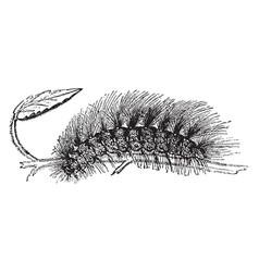 Larva of chelonia caja vintage vector