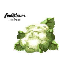 cartoon cauliflower ripe green vegetable vector image vector image