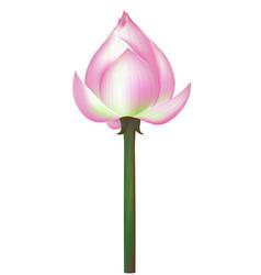 lotus flower on white background vector image