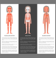 Muscular and blood systems skeleton silhouette vector