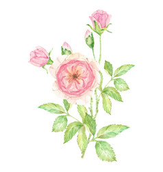 Watercolor beautiful english rose flower branch vector