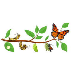 Butterfly life cycle cartoon caterpillar insects vector