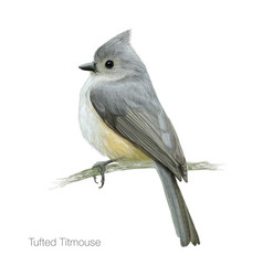 tufted titmouse vector image
