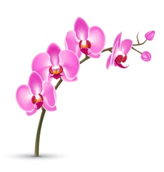 Branch of pink orchid isolated on white vector image