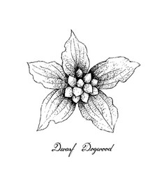 Hand drawn of dwarf dogwood fruits on white backgr vector