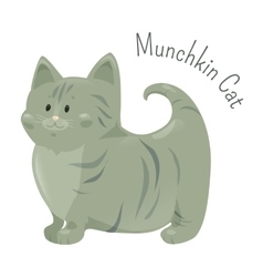 Munchkin cat isolated Very short legs type vector image