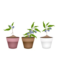 Chinese Olive Plants in Ceramic Flower Pots vector image