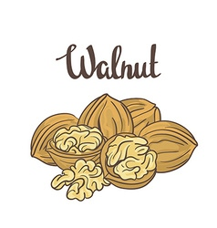 Walnuts isolated on white background Cartoon label vector image