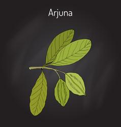 Arjuna terminalia or arjun tree kumbuk vector