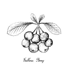Hand drawn of firethorn berries fruits on white ba vector