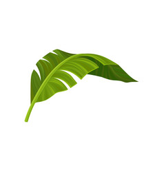bright green curved leaf of banana palm tree vector image vector image