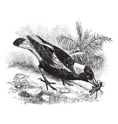 Australian magpie vintage vector