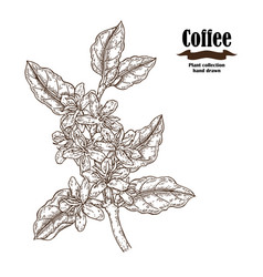 Hand drawn coffee branch with flowers and leaves vector