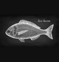 Chalk sketch of gilt-head sea bream fish vector