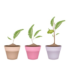 Chick Peas Plant in Ceramic Flower Pots vector image