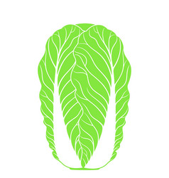 Chinese cabbage isolated cabbage on white vector
