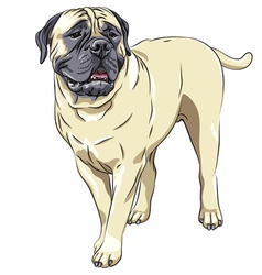 domestic dog breed Bullmastiff stands vector image