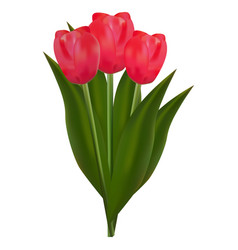 bouquet of red tulips vector image