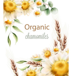 Organic chamomiles flowers with green leaves and vector