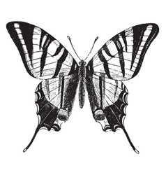The scarce swallow tailed butterfly vintage vector