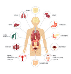 human body internal organs infographics vector image