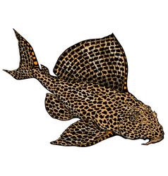 Leopard plecostomus vector