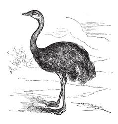 Common Rhea vintage engraving vector image vector image