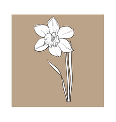 Single yellow daffodil narcissus spring flower vector