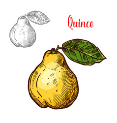 Quince sketch exotic fruit icon vector