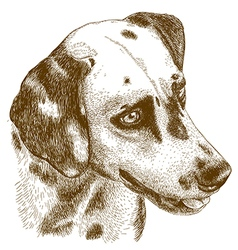 engraving dalmatian head vector image vector image