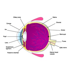 Structure of human eye two vector image
