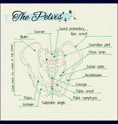 bones of the human pelvis vector image vector image