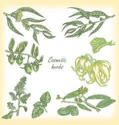 cosmetic herbs collection set vector image