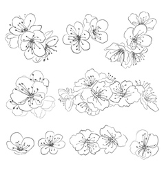 Drawing cherry blossoms vector image