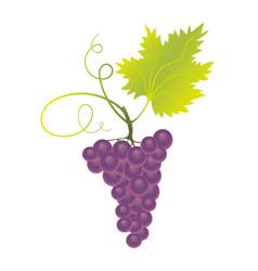 Purple grapes vector