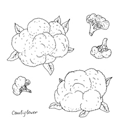 hand drawn cauliflower vector image