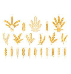 Wheat and rye ears oats barley rice spikes vector