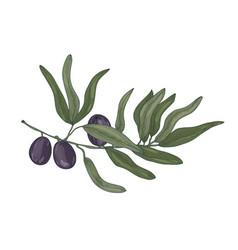 botanical drawing of olive or olea europaea tree vector image
