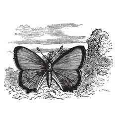 Thecla quercus vintage vector