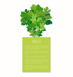 Parsley spice plant isolated on white background vector