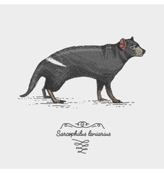 Tasmanian devil engraved hand drawn vector