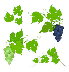red and white grapes bunch with leaves vector image
