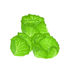 cabbages vector image