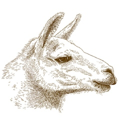 Engraving lama vector