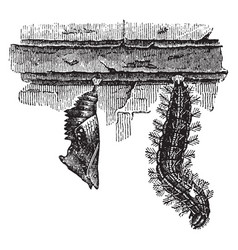 Larva and chrysalis of the large tortoise shell vector