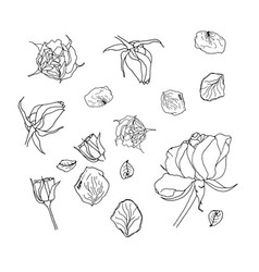 liner roses petals and buds on white blackground vector image